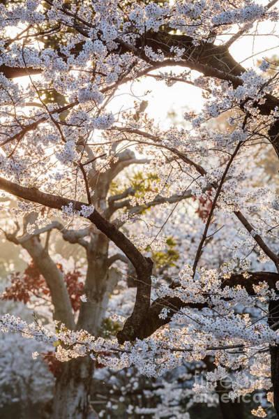Wall Art - Photograph - Cherry Tree Blossoms, Japan by Matteo Colombo