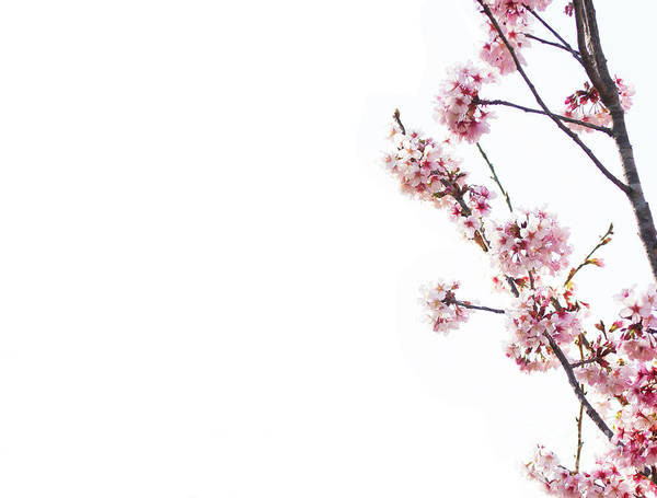 Wall Art - Photograph - Cherry Tree Blossoms by Ruth Jolly