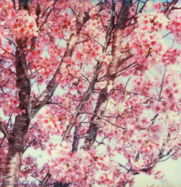 Outdoors Digital Art - Cherry Tree by Claire Rydell