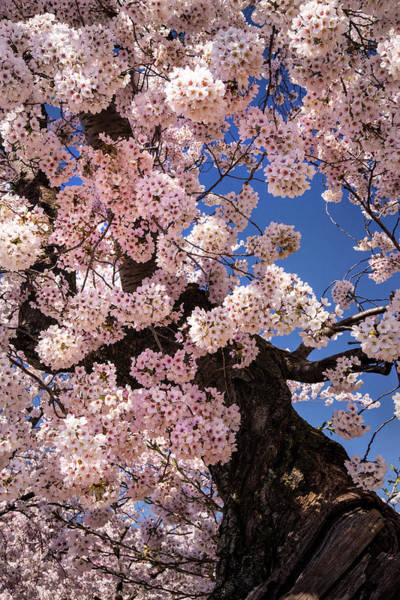Photograph - Cherry Tree by Don Johnson