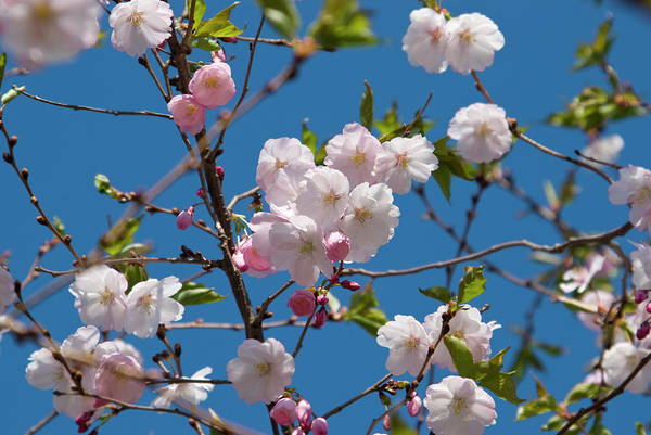 Sunlight Photograph - Cherry Tree In Bloom by Jcarroll-images