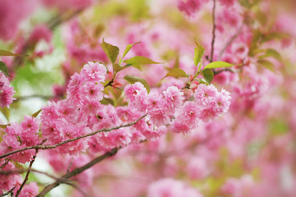Wall Art - Photograph - Cherry Tree Prunus In Blossom by Frank Krahmer