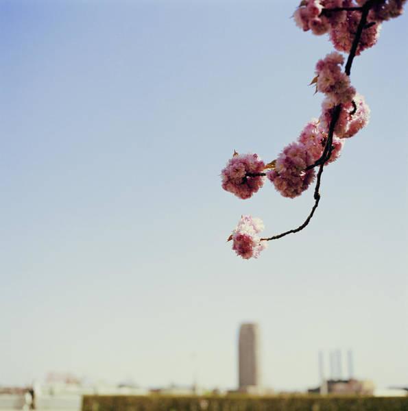 Wall Art - Photograph - Cherry Tree Prunus Sp., Blossoming by Kiriko Shirobayashi