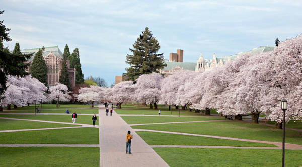 Campus Photograph - Cherry Trees Covered In Blossoms On by Danita Delimont