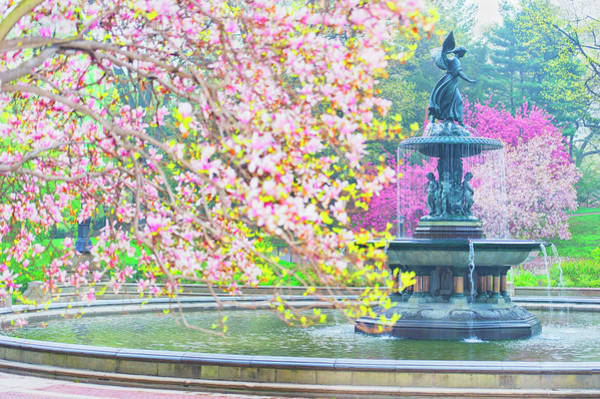 Bethesda Fountain Photograph - Cherry Trees In Central Park In Spring by Mitchell Funk