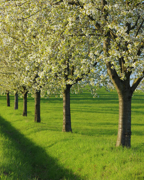 Vertical Perspective Photograph - Cherry Trees, Moembris, Aschaffenburg by Raimund Linke