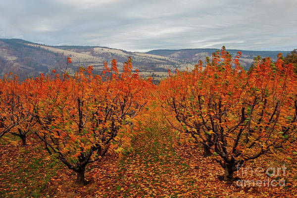 Orchard Photograph - Cherry Orchard Autumn by Mike Dawson