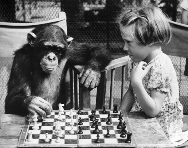 Cute Photograph - Chess Chimp by William Vanderson