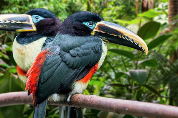 Photograph - Chestnut-eared Aracari by Arterra Picture Library