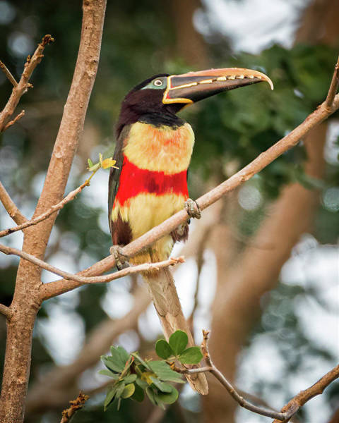 Photograph - Chestnut Eared Aracari Hato Berlin Casanare Colombia by Adam Rainoff