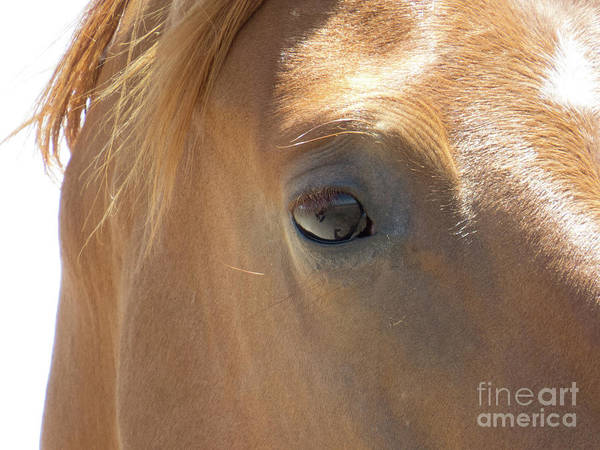Photograph - Chestnut Horse Close Up by Christy Garavetto