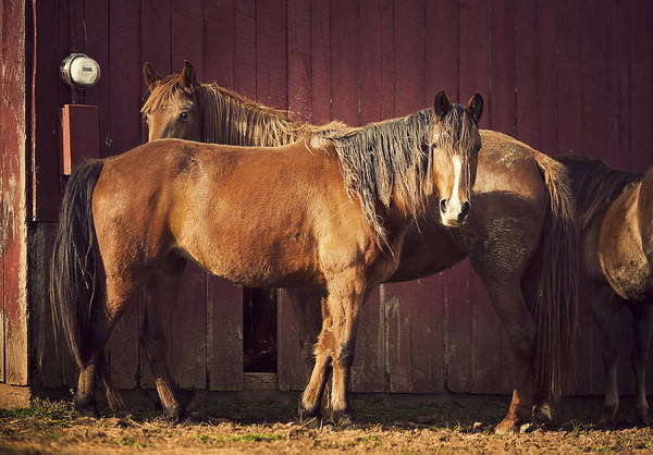 Domestic Animals Photograph - Chestnut Horses by Thepalmer