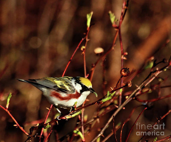 Photograph - Chestnut-sided Warbler by Debbie Stahre