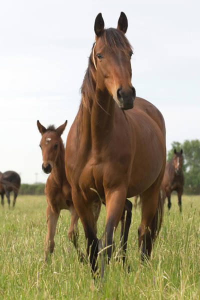 Mare Photograph - Chestnut Thoroughbred Mare And Foal by Lesliejmorris