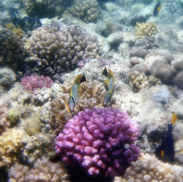 Photograph - Chevron Butterflyfish And Colorful Corals by Johanna Hurmerinta
