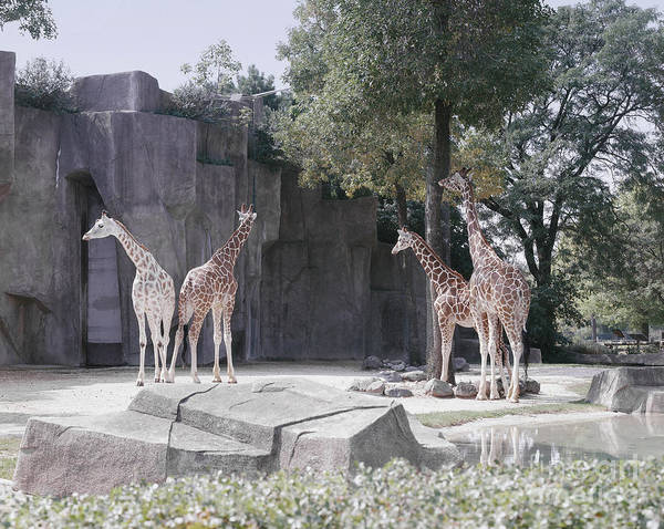 Photograph - Chicago Zoo by Highsmith