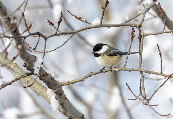Wall Art - Photograph - Chickadee 2018-2 by Thomas Young
