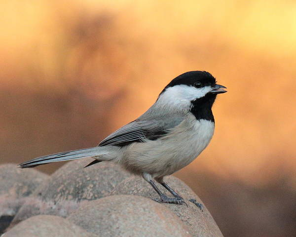 Photograph - Chickadee 4734 by John Moyer