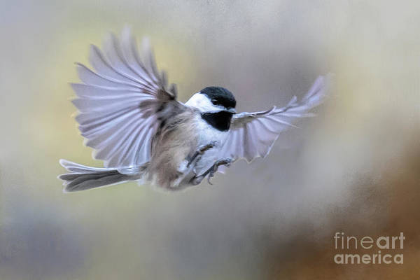 Photograph - Chickadee by Ed Taylor