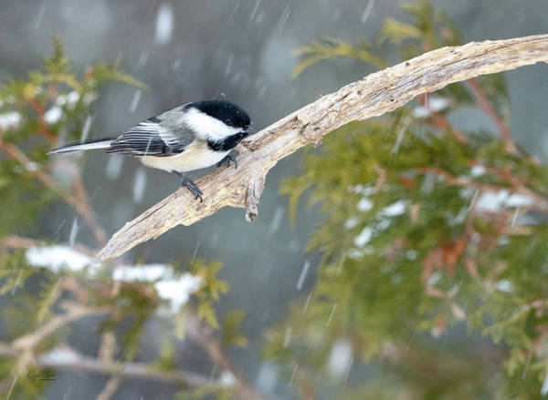 Photograph - Chickadee In Snow by Judi Dressler