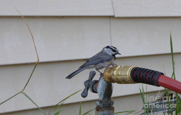 Photograph - Chickadee On A Spigot by Charles Robinson