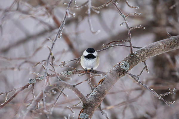 Photograph - Chickadee Sax Zim Bog by Paul Schultz
