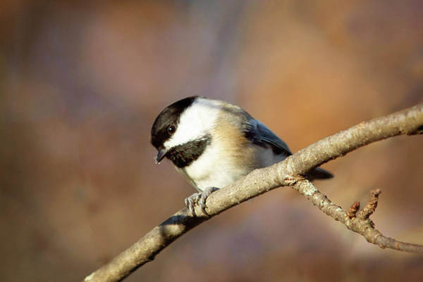 Photograph - Chickadee by Sue Collura