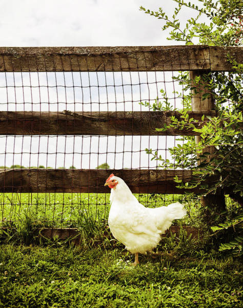Free Range Photograph - Chicken At A Farm by Michael Marquand