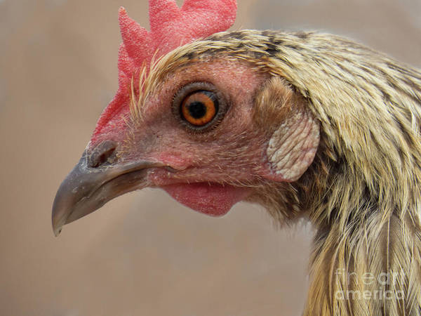 Photograph - Chicken Face 3 by Christy Garavetto
