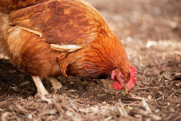 Photograph - Chicken On The Farm by Rob D Imagery