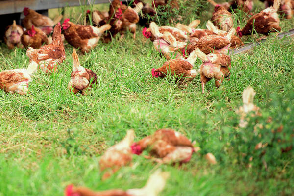 Photograph - Chickens by Rob D Imagery