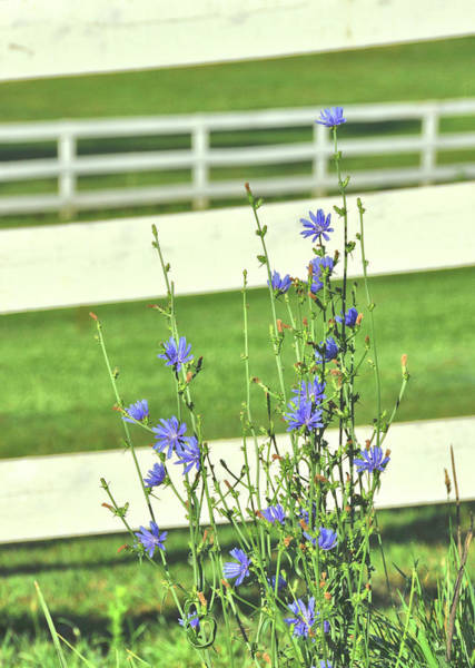 Photograph - Chicory  by JAMART Photography
