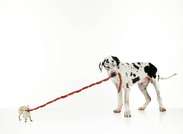Great Dane Photograph - Chihuahua And Great Dane With Sausages by Michael Blann