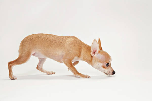 Chihuahua Photograph - Chihuahua Dog Sniffing Ground by Evan Kafka