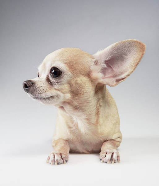 Chihuahua Photograph - Chihuahua Listening by Stilllifephotographer