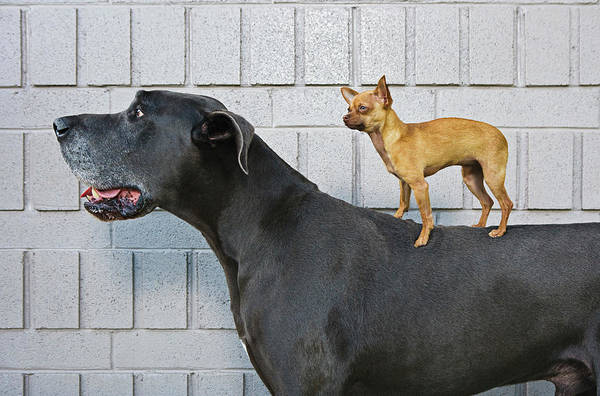 Great Dane Photograph - Chihuahua On Great Danes Back by Brand X Pictures
