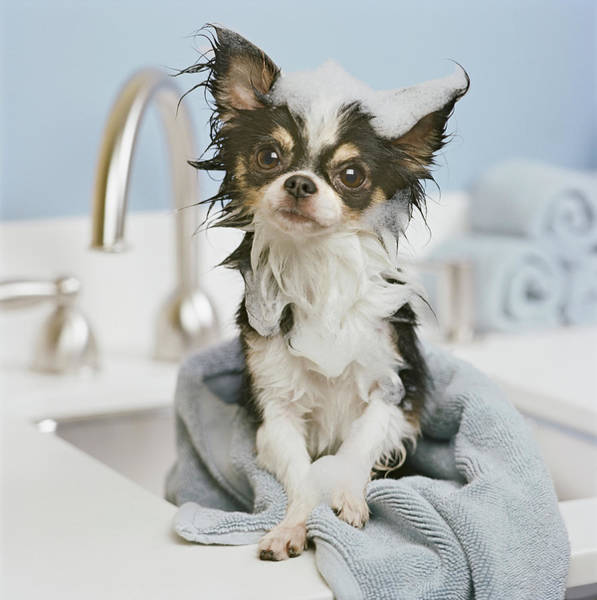 Chihuahua Photograph - Chihuahua Puppy Wrapped In Towel On by Gk Hart/vikki Hart