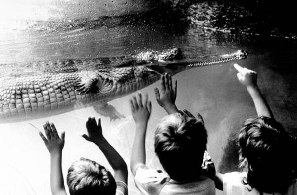 The Bronx Photograph - Children Reach Towards The Gharial by New York Daily News Archive