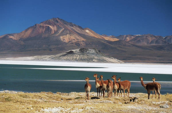 Priest Lake Photograph - Chile, Atacama Desert, Herd Of Lamas In by Philippe Bourseiller