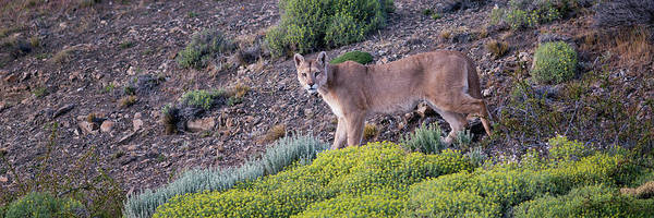 Puma Photograph - Chile, Patagonia, South America by Karen Ann Sullivan