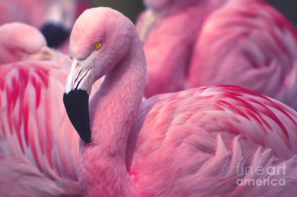 Vibrant Color Wall Art - Photograph - Chilean Flamingo by Jeff Mcgraw