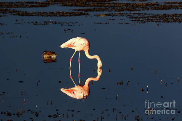 Photograph - Chilean Flamingo Reflections by James Brunker