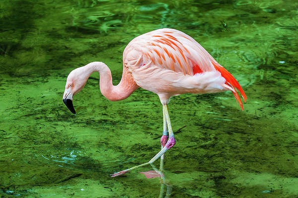 Wading Photograph - Chilean Flamingo Wading by Chris Minerva