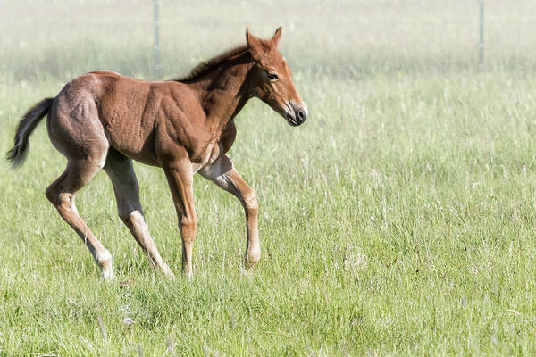 Photograph - Chiloquin Filly Running by Belinda Greb
