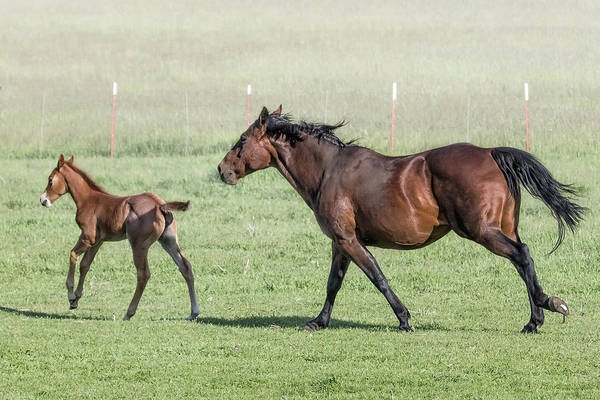 Photograph - Chiloquin Mare And Filly Running, No. 1 by Belinda Greb