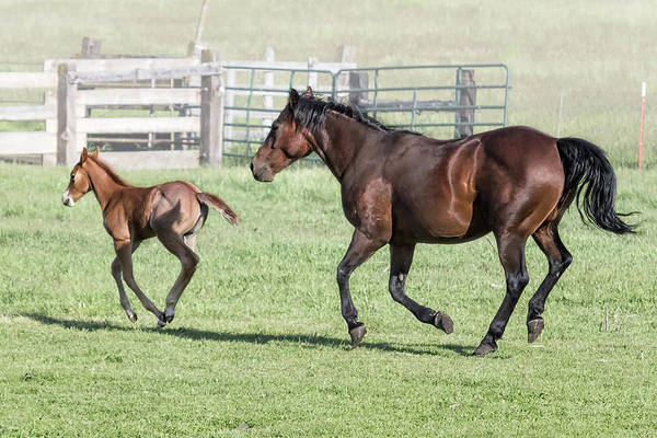 Photograph - Chiloquin Mare And Filly Running, No. 2 by Belinda Greb