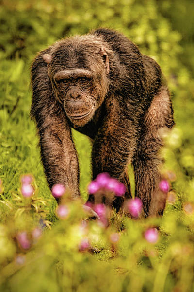 Photograph - Chimp by Chris Boulton
