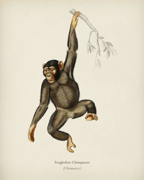 African Penguin Painting - Chimpangze  Troglodyte Chimpanze Illustrated By Charles Dessalines D' Orbigny  1806-1876  by Celestial Images