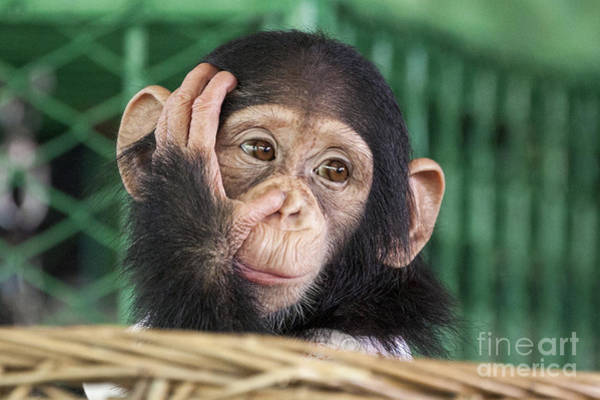 Intelligence Wall Art - Photograph - Chimpanzee Face by Apple2499