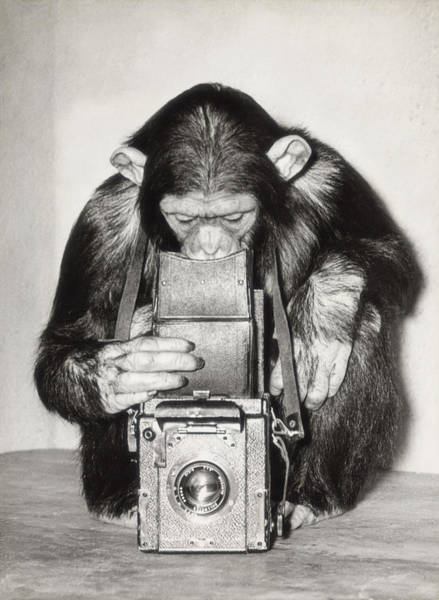Mammal Photograph - Chimpanzee Looking Through Vintage Box by Fpg